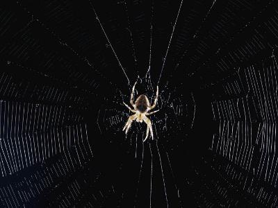 Argiope (Orb Weaver) Spider on an Intricately Woven Web
