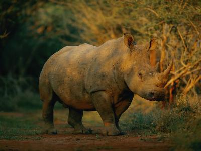 A View of a Rhinoceros
