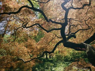 The Gnarled Branches of a Japanese Maple Tree in Spring
