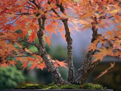 Tree Branches of a Bonsai Japanese Maple Tree (Acer Palmatum)