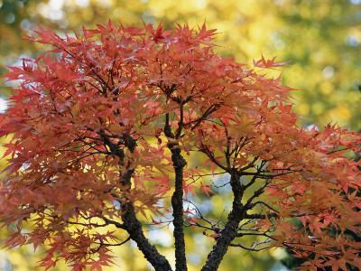 Pretty Pink-Colored Leaves on a Bonsai Japanese Maple Tree
