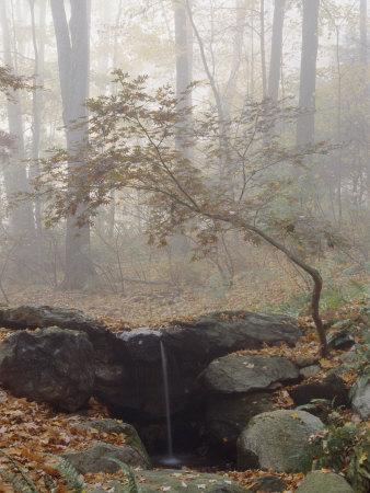 Japanese Maple Trees in the Fog in a Japanese Garden