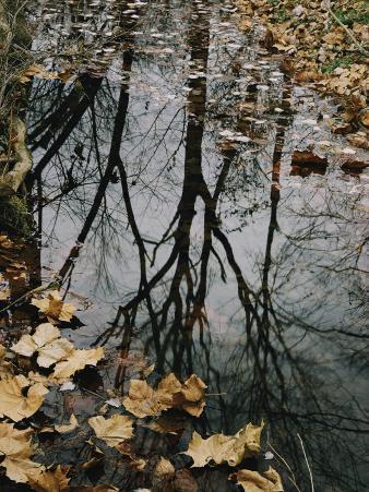 Autumn Leaves Floating in Israel Creek