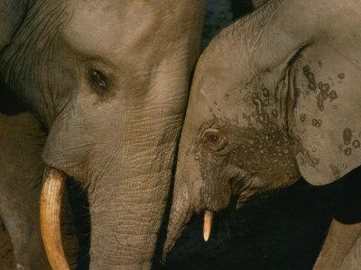 A Female Forest Elephant Bonds with Her Baby