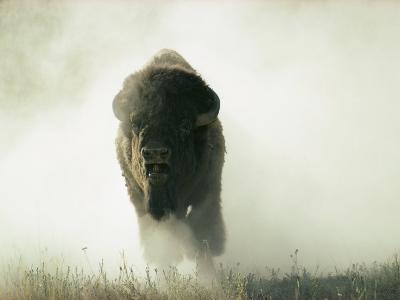 Bison Kicking up Dust