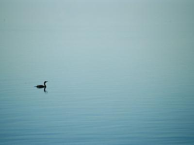 A Lone Cormorant Drifts on a Fog-Shrouded Lake