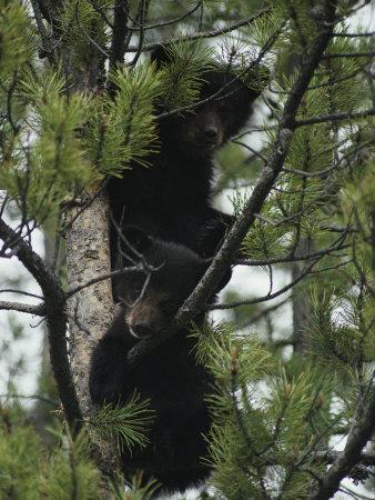 American Black Bear Cubs Climb a Lodgepole Pine