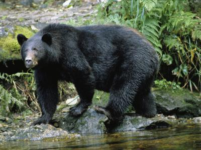 A Black Bear, Ursus Americanus, Walks Along a Rocky Bank