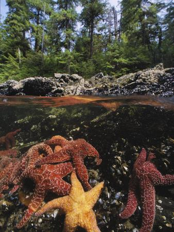 A Group of Ochre Sea Stars Clustered on a Rocky Shore