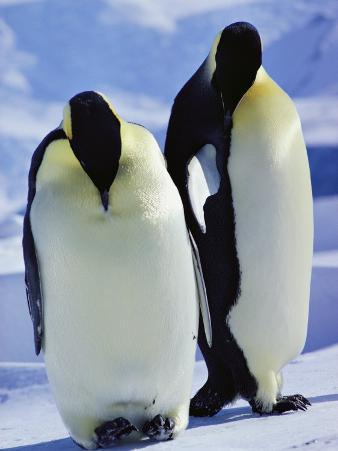 A Pair of Emperor Penguins, Aptenodytes Forsteri, Standing Together