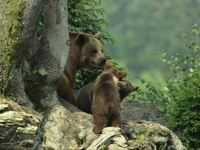 Brown Bear with Cubs, Bayerischer Wald National Park, Germany