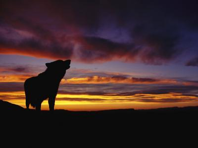 Silhouette of a Gray Wolf at Sunset