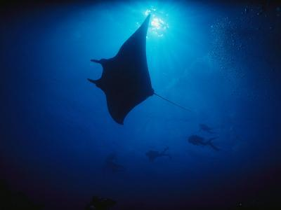 A Silhouetted Manta Ray Swims in Deep Blue Water