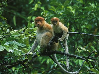 A Proboscis Monkey, Nasalis Larvatus, and Child Rest on a Branch