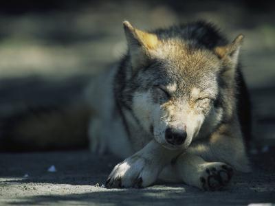 Gray Wolf Dozing