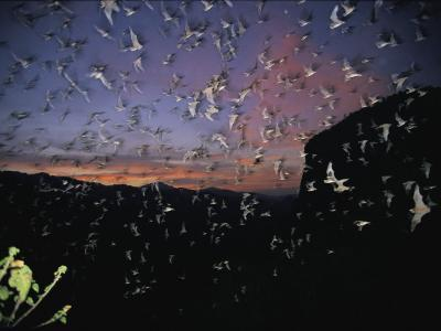 Thousands of Wrinkled-Lipped Bats Fly out of a Cave at Dusk