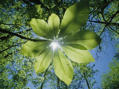 Sunlight Filters Through the Leaves of an Umbrella Tree