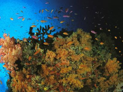 Anthias and Other Fish Swim Near a Reef Wall Covered with Soft Coral