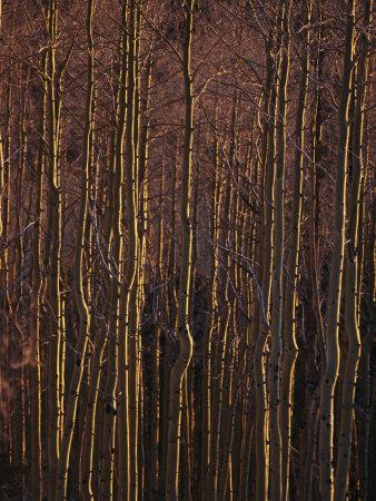 Winter View of a Stand of Aspen Trees in the Late Afternoon Light