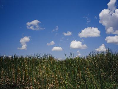 Puffy Clouds Fill a Blue Sky over Tall Grasses in the Everglades