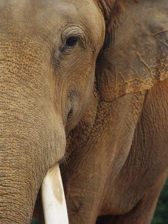 A Close View of the Face of an Elephant