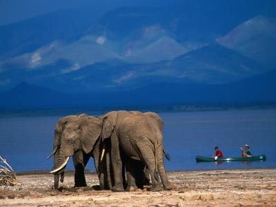 Elephants Standing on the Shore While Onlookers Pass Them in a Canoe, Lake Manyara N.P., Tanzania