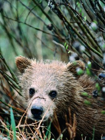 Grizzly Cub in Grass (Ursus Arctos), Denali National Park & Preserve, U.S.A.