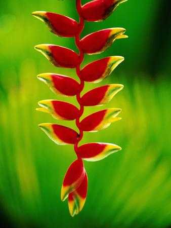 Heliconia Flower, Nadi, Fiji