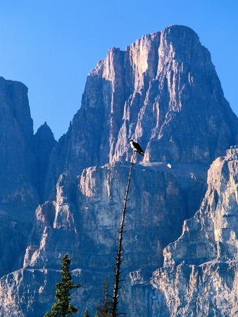 Perched Osprey (Pandion Haliaetus) and Castle Mountain, Banff National Park, Canada