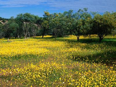 Native Wildflowers Coalseam Conservation Park, Western Australia, Australia