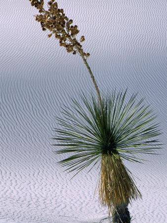 Yucca Plant, State Flower of New Mexico, White Sands National Monument, New Mexico, USA