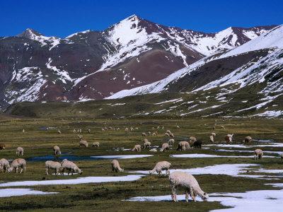 Alpaca Herd Grazing Quebrada Surapampa Valley Near Laguna Ausangatecocha, Cuzco, Peru