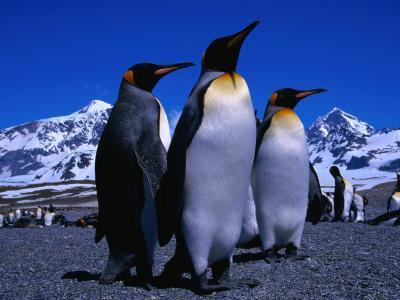 King Penguins One of Natures Great Looking Birds, St. Andrews Bay, Antarctica
