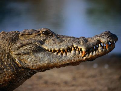 Nile Crocodile (Crocodylus Niloticus) in Profile, Paga, Ghana