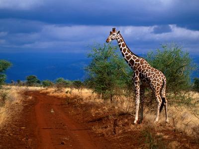 Reticulated Giraffe (Giraffa Camelopardalis Reiiculata), Meru National Park, Kenya