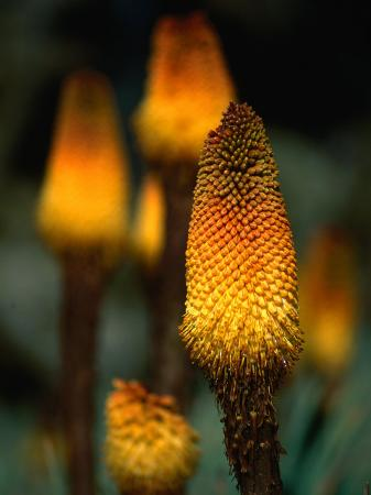 Red Hot Poker Plant from the Sanetti Plateau, Bale Mountains National Park, Oromia, Ethiopia