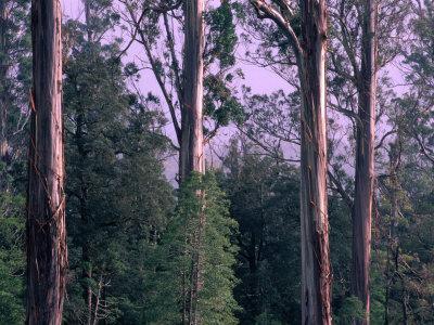Mountain Ash and Rainforest Understorey in the Styx Valley, Tasmania, Australia