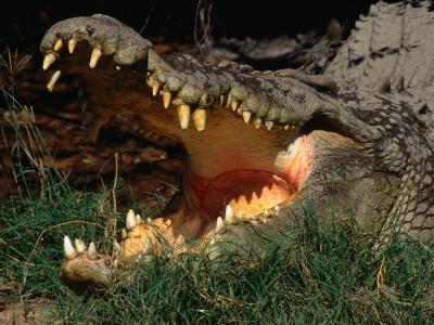 Saltwater Crocodile (Crocodylus Porosus), Kakadu National Park, Australia