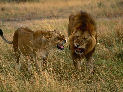 Lion and Lioness Growling at Each Other, Masai Mara National Reserve, Rift Valley, Kenya