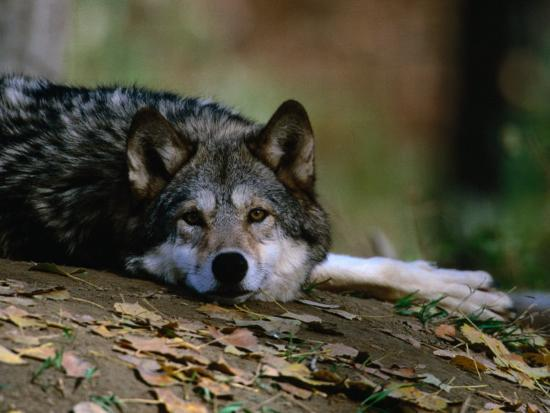 Wolf Canis Lupus Lying Down Usa Photographic Print By