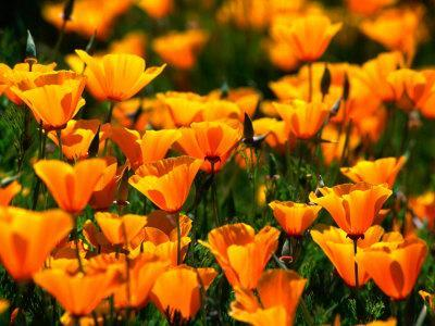 Californian Poppies, USA
