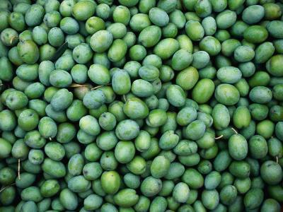 "Harvest of Green ""Sevillana"" Olives, Napa Valley, California, USA"