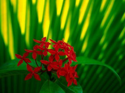 Red Bouvardia, Cook Islands