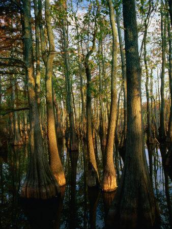 Horseshoe Lake Swamp at Dawn, USA