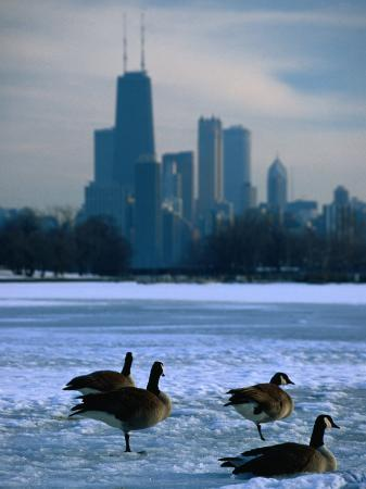 Four Canada Geese on Frozen Lagoon with North Loop Skyline in Background, Chicago, USA