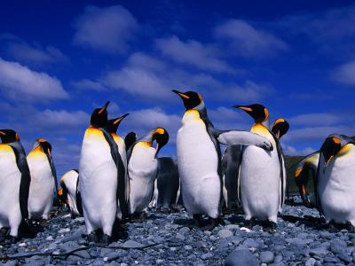 King Penguins (Aptenodytes Patagonicus) on Beach at Sandy Bay, Macquarie Island, Antarctica