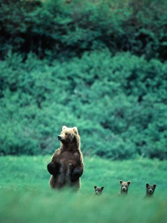 Brown Bear and Cubs, Mikfik Creek, U.S.A.