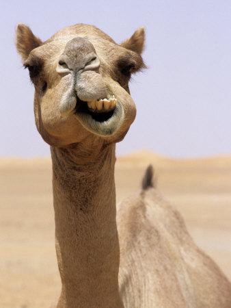 Cheeky dubai camel in desert dubai united arab emirates cheeky dubai camel in desert dubai united arab emirates thecheapjerseys Image collections