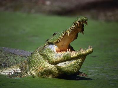 Nile Crocodile (Crocodylus Niloticus) at the Kachikaly Crocodile Pool, Bakau, Western, Gambia, The