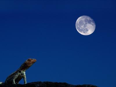 Lava Lizard (Tropidurus Sp.) Beneath a Full Moon, Galapagos, Ecuador